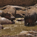 Male hippos also watch female's asses