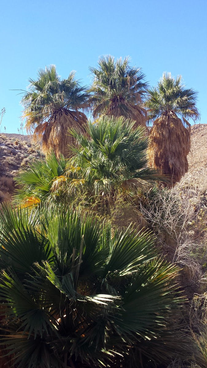 Apparently the Carrizo Palm grove is one of the largest in Anza Borrego. I am guessing it is also one of the most remote.