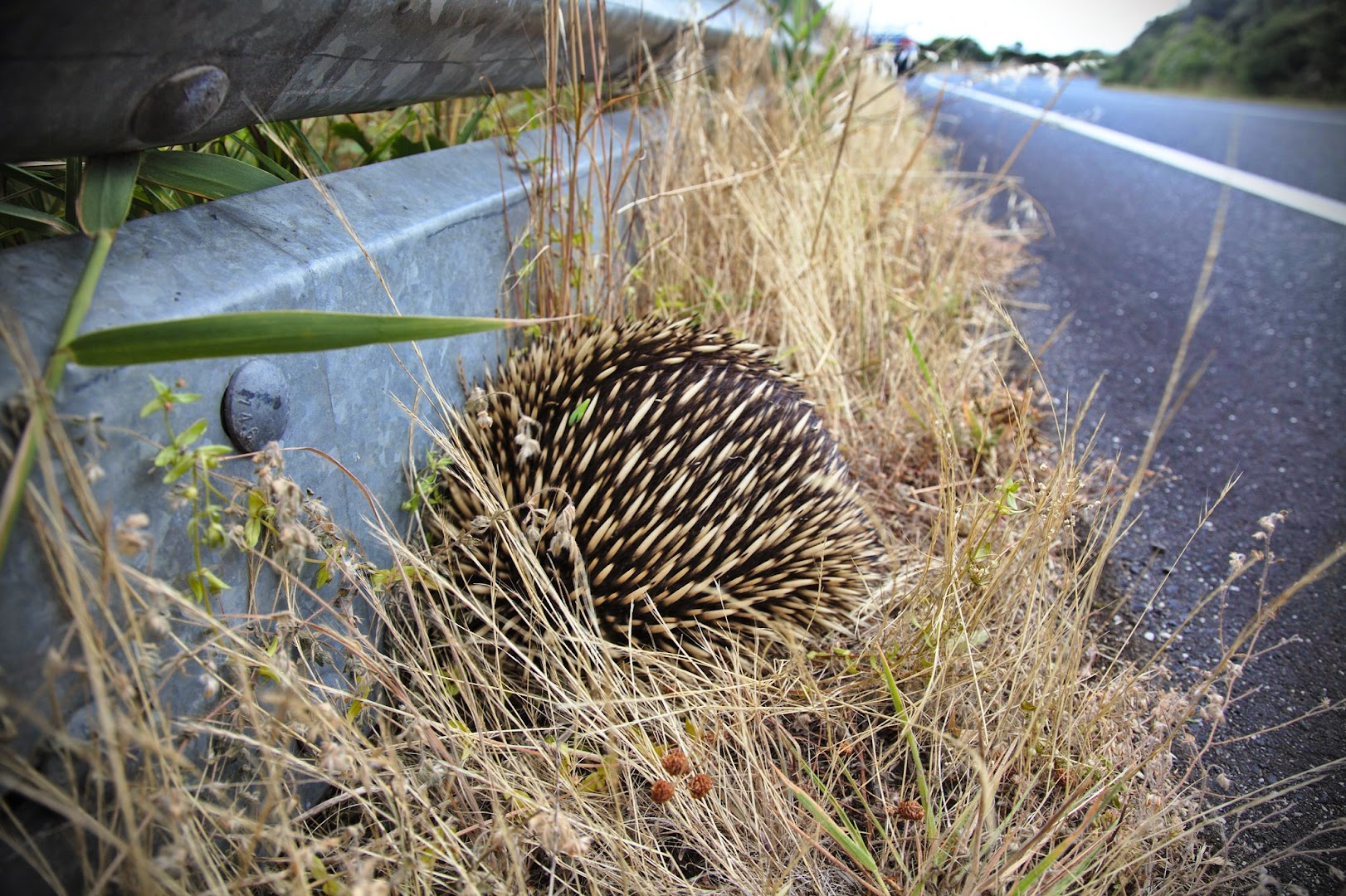 Echidna tries to escape the cars by digging under the railings