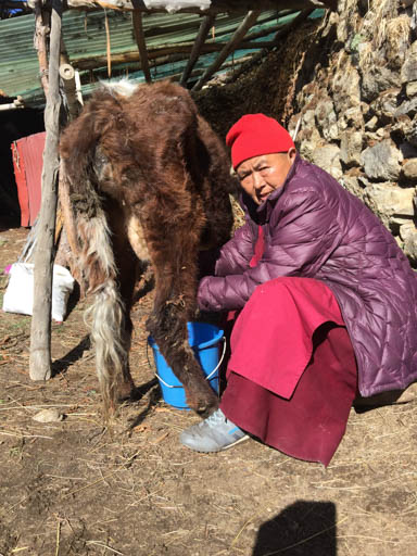 Ani Ngawang Samten milking her cow, Lawudo Retreat Centre, Nepal, April 2015. Photo by Ven. Roger Kunsang.