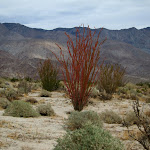 Red Ocotillo which we have never seen before.
