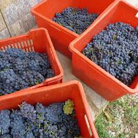 vv_grape - 24