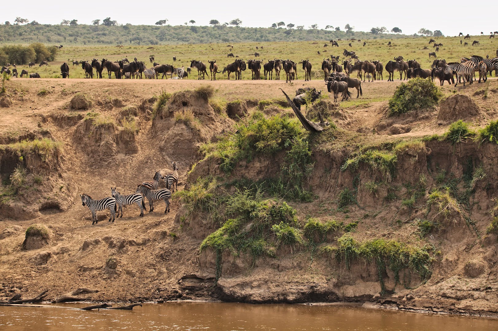 Animals preparing for the great migration over Mara river