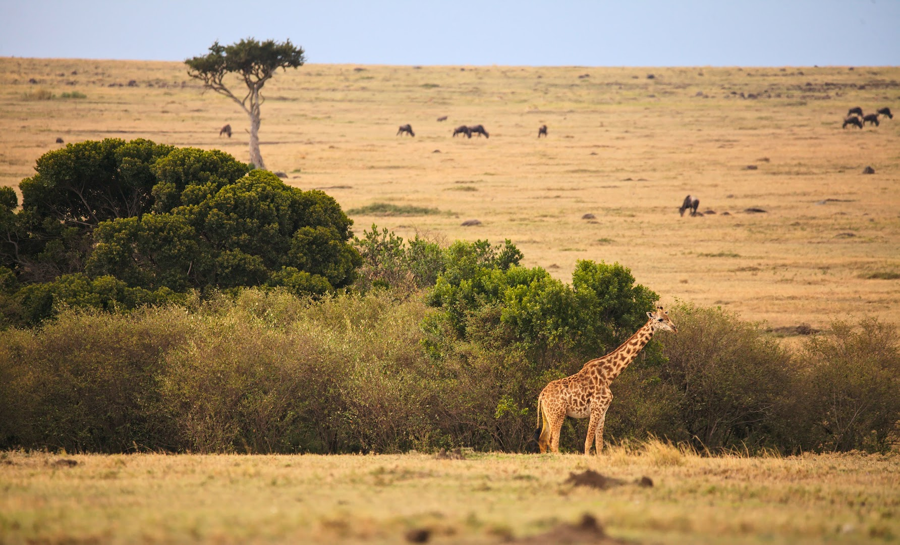 Giraffes are usually found near the trees, even if there are few