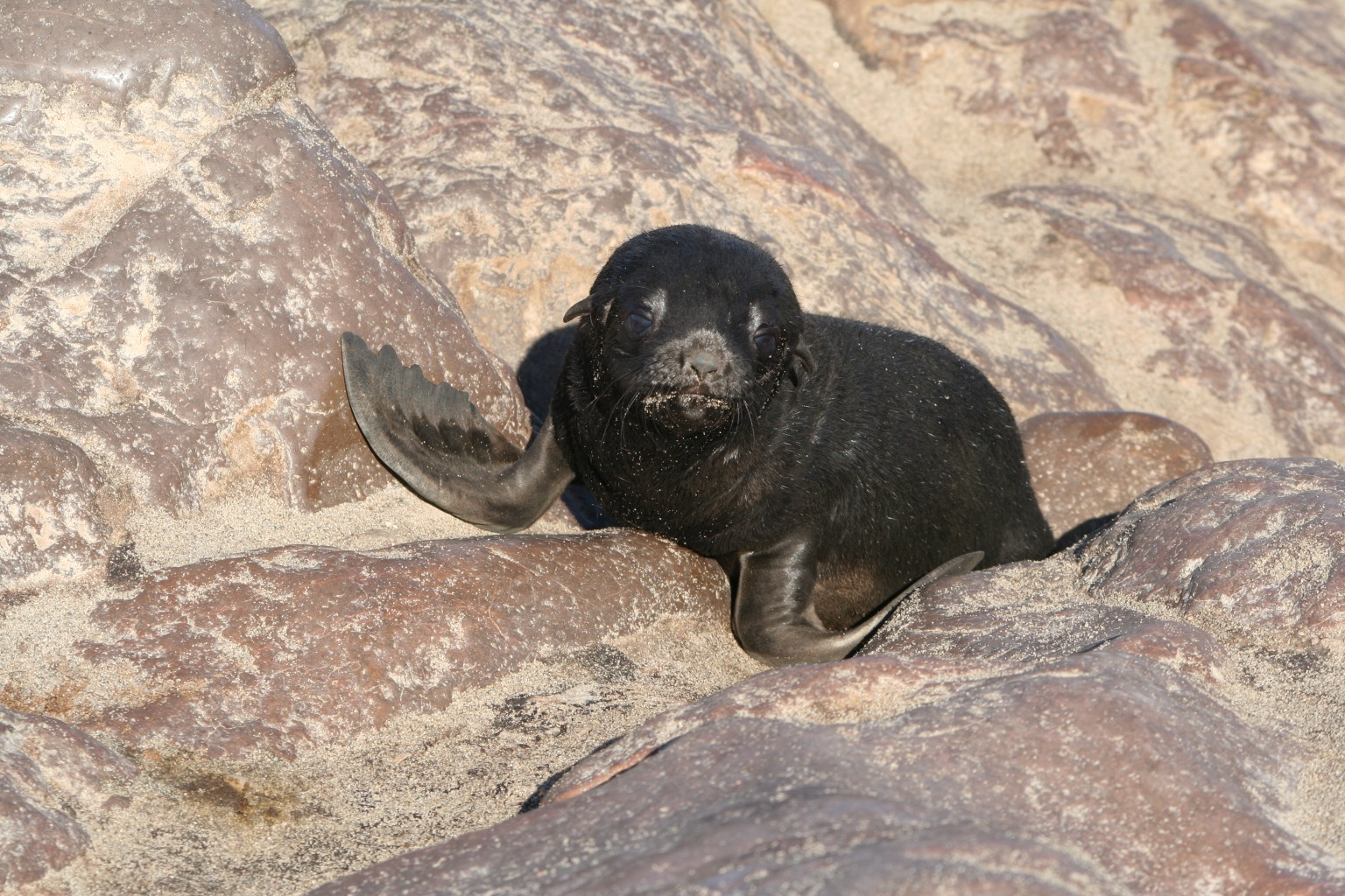 Baby seal trying to move on the ground (quite a hard task)
