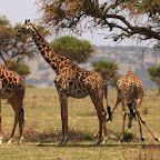 Giraffes have a hard time reaching stuff from the ground