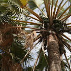 Damara palm