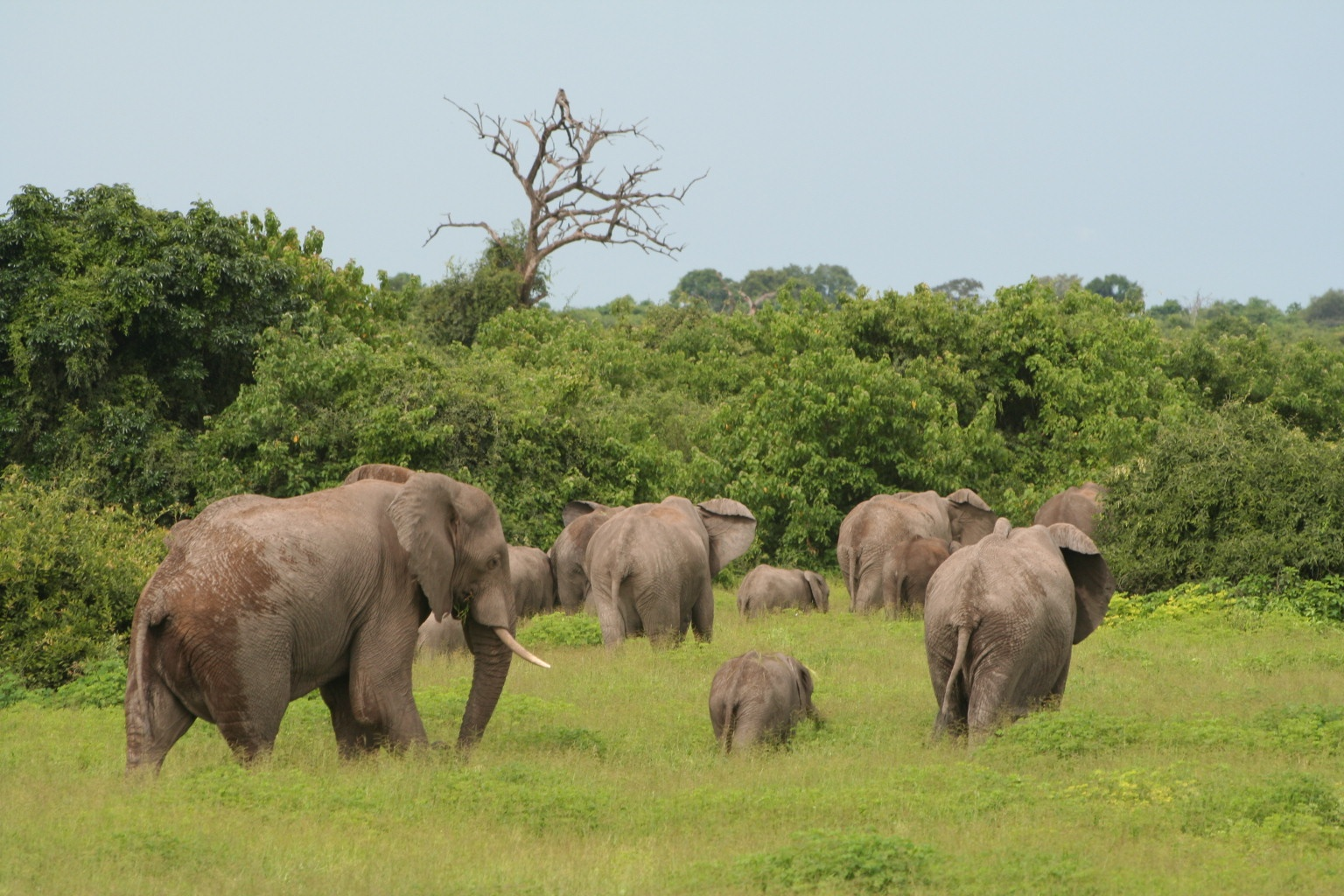 Thousands of elephants in Chobe