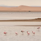 Flamingos almost at the desert