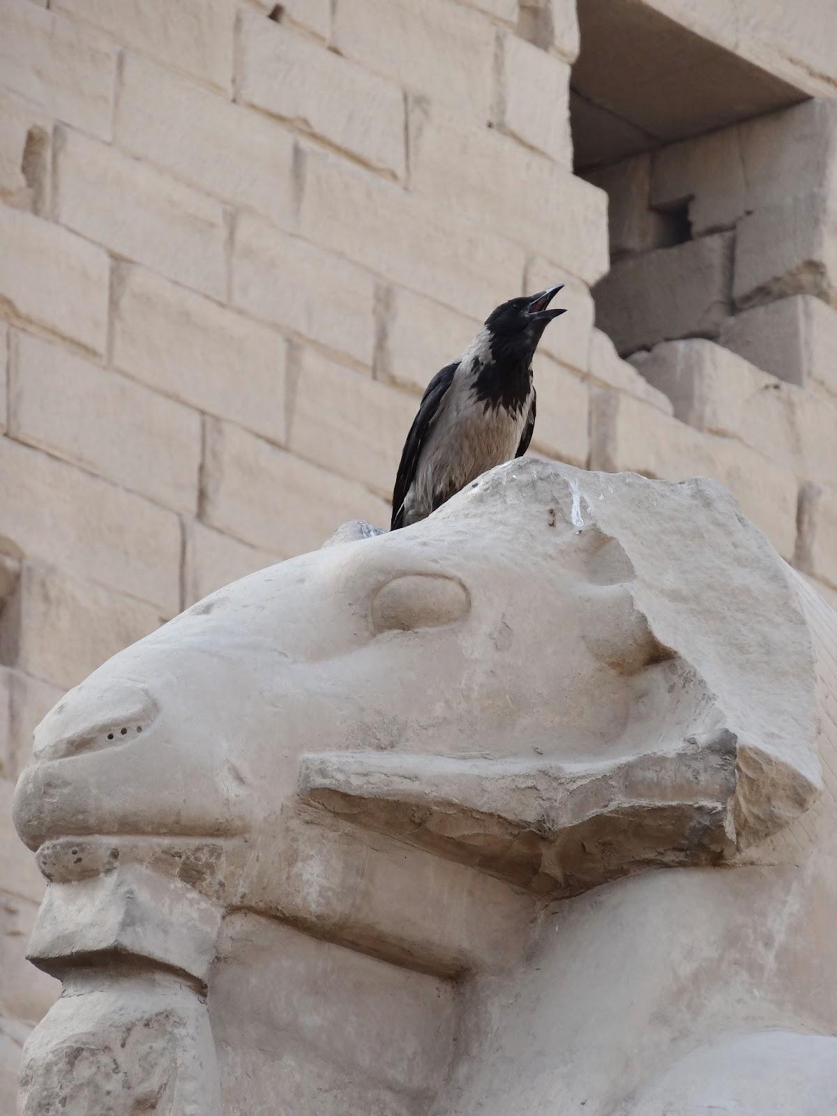 エジプトにいた鳥(からす?)
