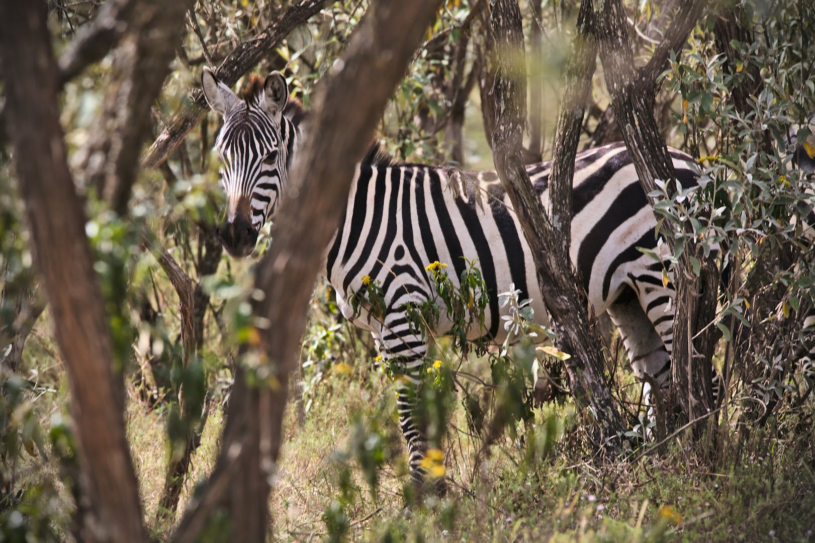Hunting for zebras