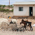 Goats on the street in Opuwo