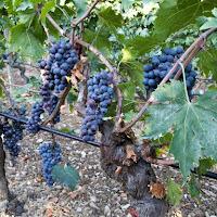 vv_grape - 21