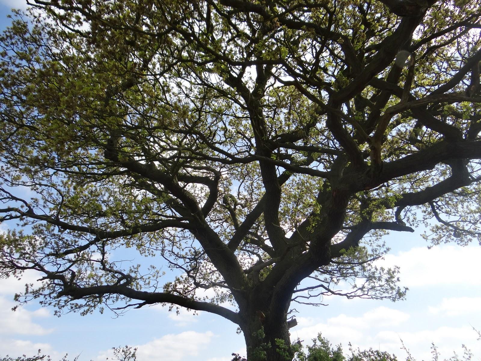 A Big Oak