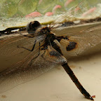 Mummy-Dragonfly