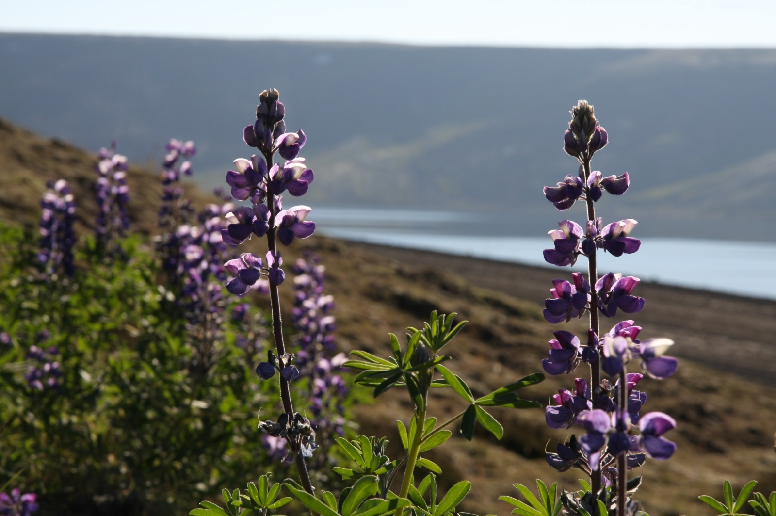 Alaskan lupine, introduced to Iceland in 1945, in many places is the only plant that can survive such harsh conditions
