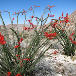 The Ocotillo were blooming everywhere