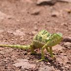 Zimbabwean chameleon