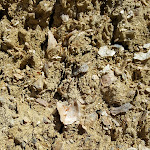 Ancient sea bed rich with fossilized shells