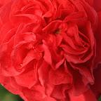 Crying Rose