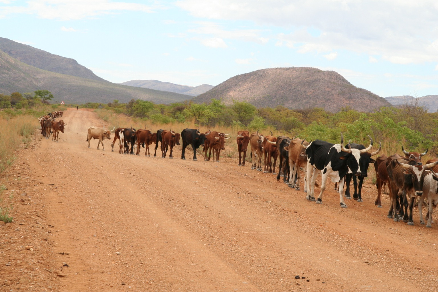 Cattle on the road