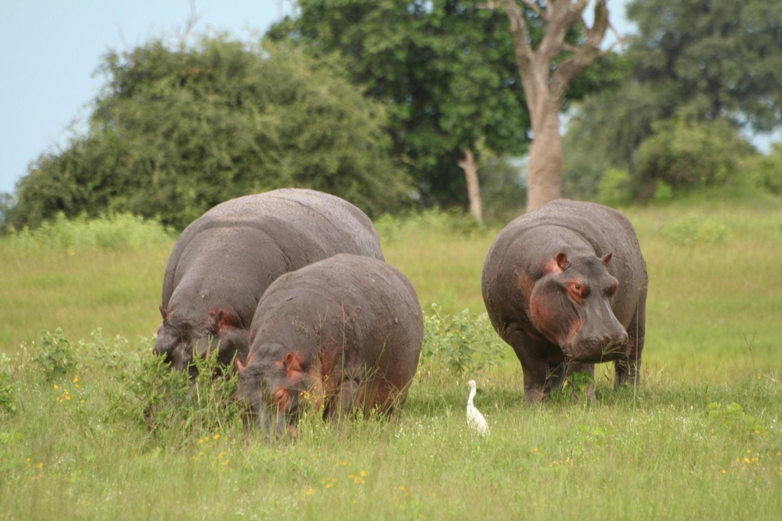 Hippo - the most dangerous wild animal