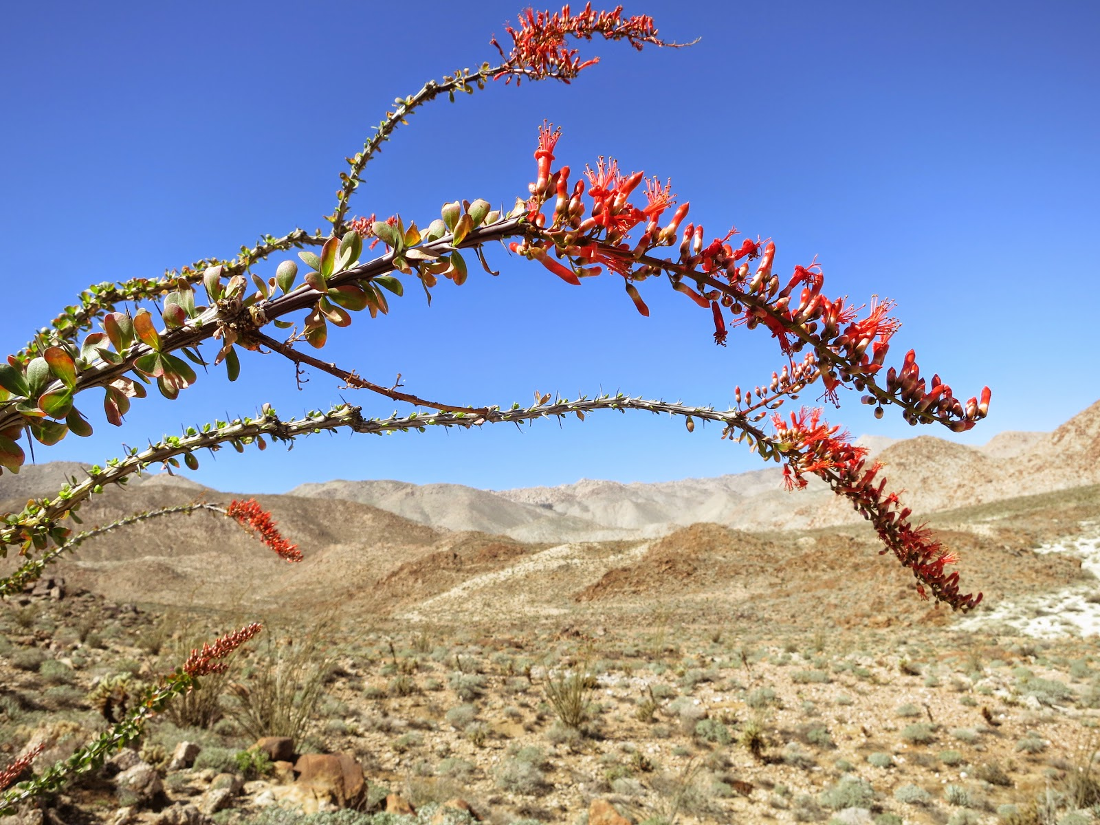 A few Ocotillo were displaying their fiery red tips.