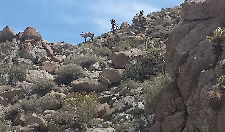 Startled by our presence, the Bighorn Sheep were quick to disappear over the rocks.