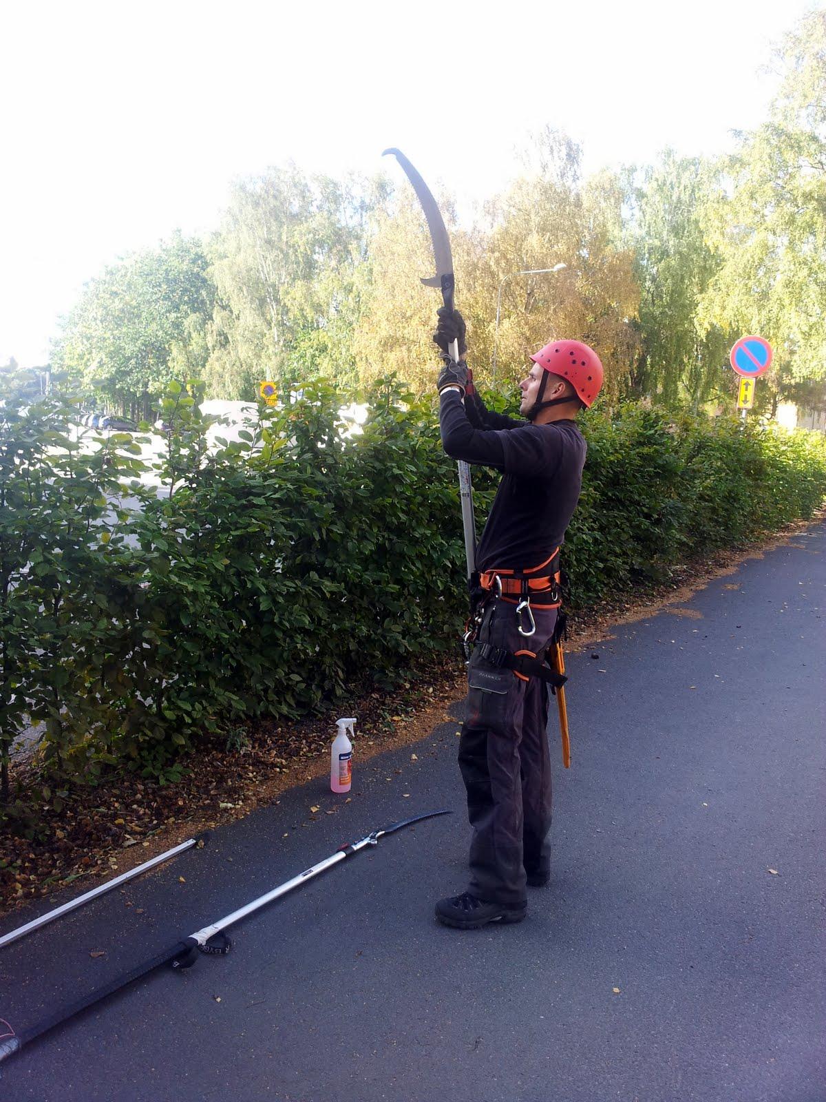 Per, vår andra arborist, justerar längden på sågen som används vid beskärning.