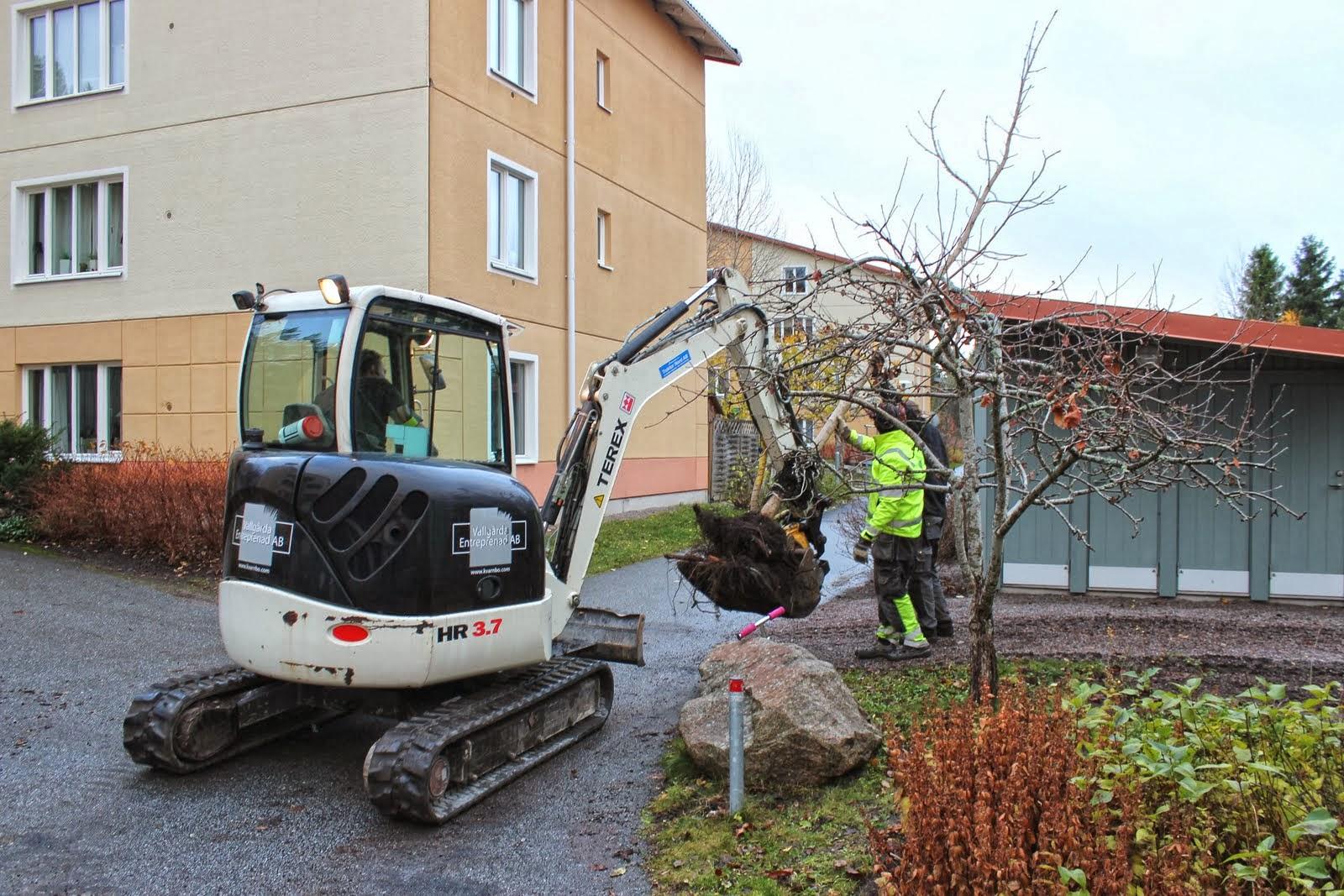 Transport av trädet, som flyttades ca 60-70 meter.