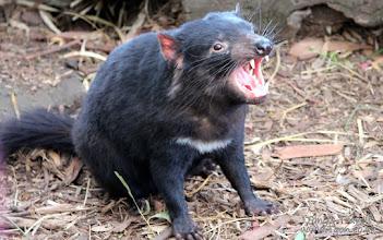 Photo: Tasmanian Devil, Tasmania