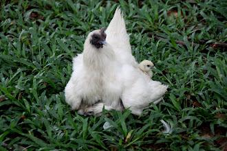 Photo: Year 2 Day 44 -  Chicken Sat on Her Brood