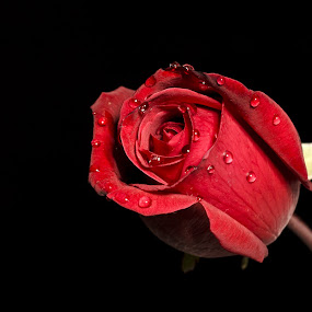 Be My Valentine 01 by Biswajit Chatterjee - Nature Up Close Flowers - 2011-2013 ( love, rose, red rose, valentine, flower )