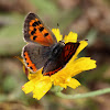 Bronze Copper Butterfly (Female)