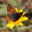 Bronze Copper Butterfly (Female)