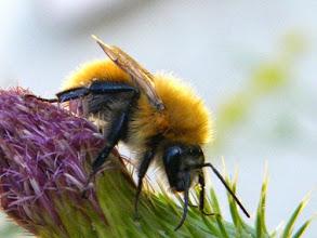 Photo: BOMBUS SYLVARUM - mâle - sur fleur de chardon. Lubéron (04) - juillet -