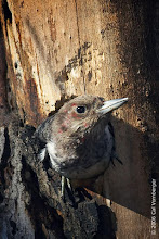Photo: Nestling Red-headed Woodpecker very close to fledging