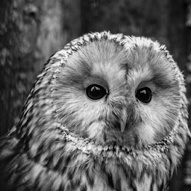 Owl by Garry Chisholm - Black & White Animals ( raptor, ural owl, bird of prey, nature, garry chisholm, ranua, finland )