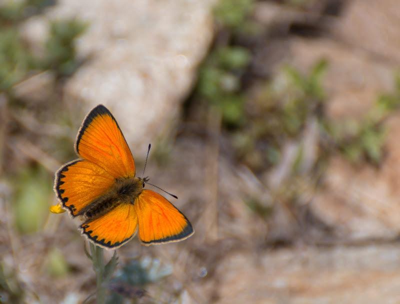 Farfalla arancione di Aktarus