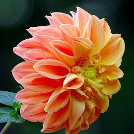 Dahlia  by Asif Bora - Flowers Flowers in the Wild (  )