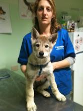 Photo: cuba sibillini wolf