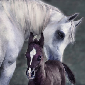 Motherly Love by Nancy Tubb - Animals Horses ( equine, horse, white arabian, arabian, arabian mare and foal,  )