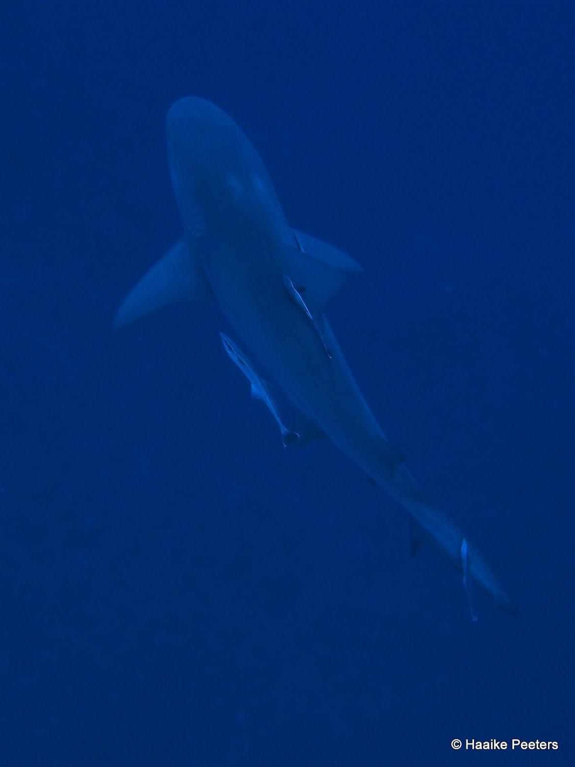 Bullshark (Le petit requin)