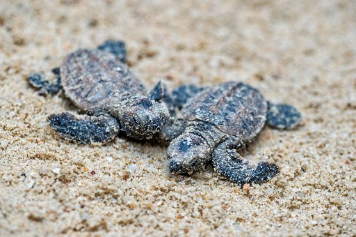 This handout photo taken on January 19, 2018 and made available on January 23, 2018 by the Sentosa Development Corporation shows a baby hawksbill turtle at Tanjong Beach in Sentosa island resort.