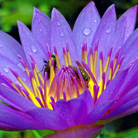 Waterlily by Asif Bora - Flowers Flower Gardens (  )