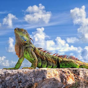Dragon of Key West... by Roman Mordashev - Animals Reptiles ( roman mordashev photography, iguana, dragon, fantastic wildlife, key west, dragon of key west )