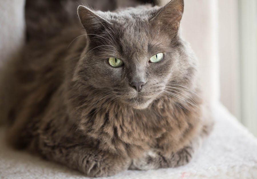 Mozart by Renee East - Animals - Cats Portraits ( cat kitten kitty nebelung gray grey fur green eyes whiskers fur pet )