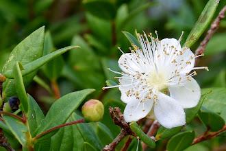 Photo: Fiore di Mirto (Myrtus communis)