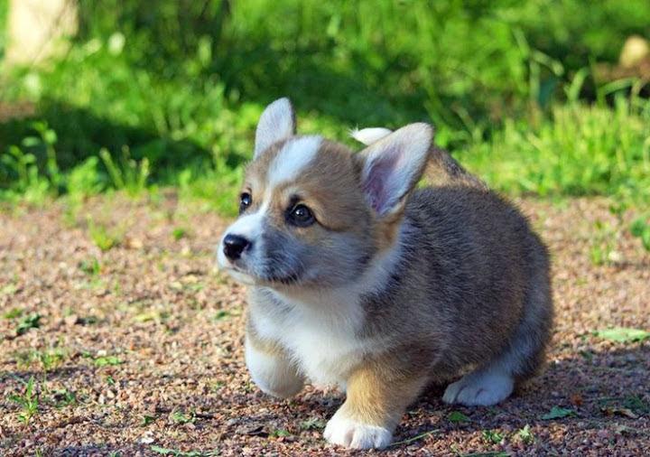 Corgi price range. How much do Corgis cost. Where to buy a Corgi puppy?