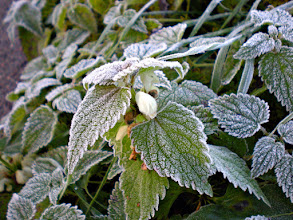 Photo: Frosty morning on a white nettle. The rising sun has not touched this beauty yet. When it does, the frost cover will go; giving refreshing water totheleaves and a chance forthewhite flower to open up once more before the Winter comes.  #leavesonthursday +Leaves On Thursdaycurated by +Marilou Aballe+Anne Durand (there are more than one which one is the right one?) and +Ray Bilcliff and #hqspmacro +HQSP Macro curated by +Vinod Krishnamoorthy and +Rinus Bakker as well as #hqspflowers +HQSP Flowerscureated by +Carina Marshand +Marina Versaci